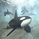 Click to see information about the 'Killer Whale Male (for Vue)'.
