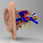 Click to see information about the 'Ear Section (for 3D Studio Max)'.