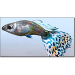 Click to see information about the 'Guppy/ Lebistes (for 3D Studio Max)'.